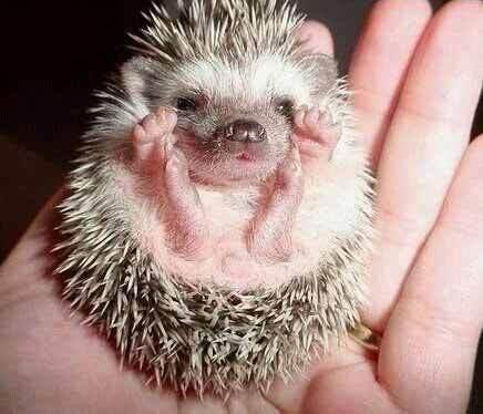 Baby riccio (grazie a un ignoto splinderiano...)